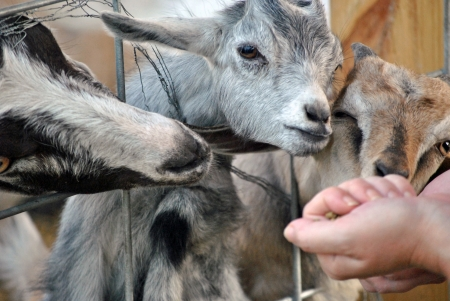 Feeding the goats at the petting zoo