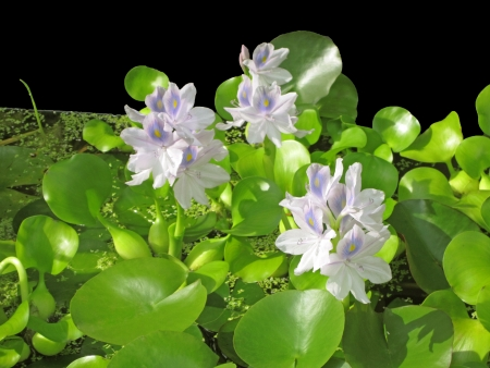 Water hyacinth; an invasive weed in the rivers of the southern US, is cultivated in water gardens of the northern states