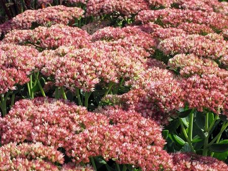 Pink sedum flowers
