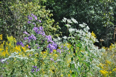 Wildflowers; goldenrod, Queen Anne s lace, purple asters