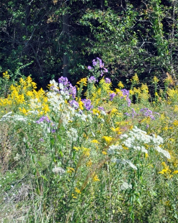 queen anne   s lace: Wildflowers; purple asters, goldenrod, Queen Anne s lace
