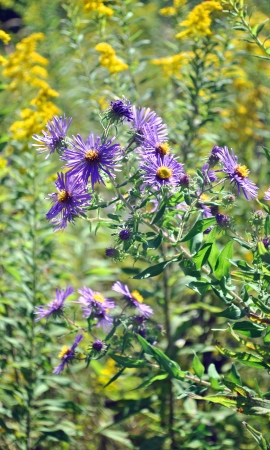 Wildflowers; purple asters and goldenrod. Stock Photo
