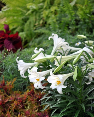 Easter lilies massed with ferns and foliage background