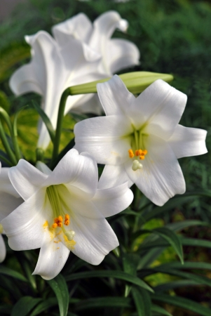 Easter lilies Stock Photo - 24969209