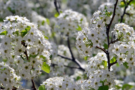 Bradford pear; a non-bearing variety well suited to parking lots and street plantings  Фото со стока