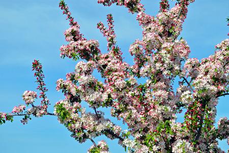 Crabapple blossoms against a blue sky