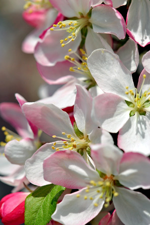 Crabapple blossoms photo