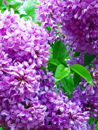 Lilacs, syringa vulgaris, an old-fashioned garden shrub  Stock Photo