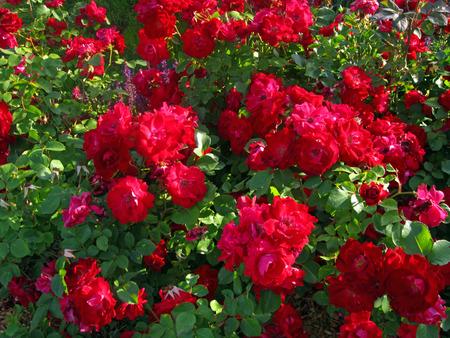 Hedge roses  Stock Photo