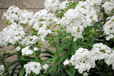 白いフロックスの花