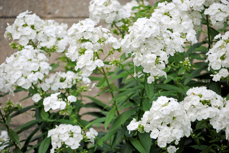 White phlox flowers