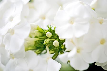 白いフロックスの花クローズ アップ