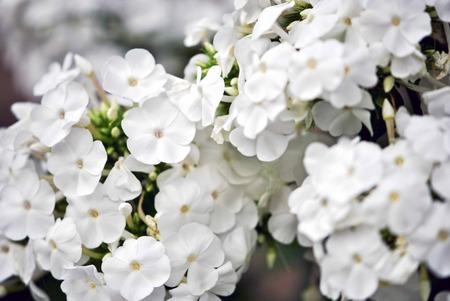 白いフロックス花