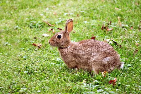 cottontail rabbit on a grassy lawn photo