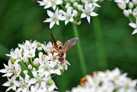 Wasp on flowers of garlic chives Фото со стока
