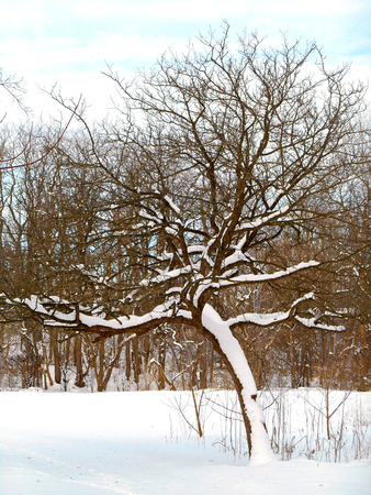woodsy: Wooded park in winter after a blizzard. Stock Photo