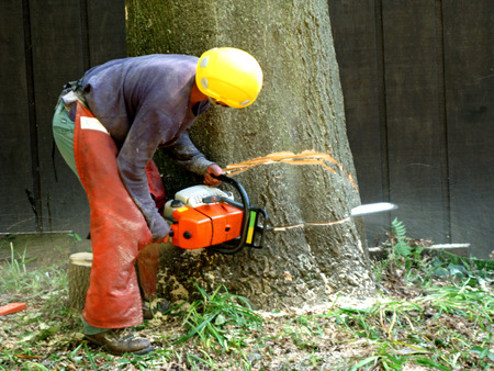 Tree service worker.  A wedge cut is made near the base of the tree trunk  to control the direction of its fall. photo