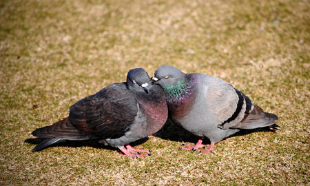 coo: Courting pigeons bill and coo.