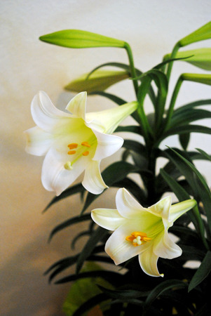 easter lily: Easter lily plant