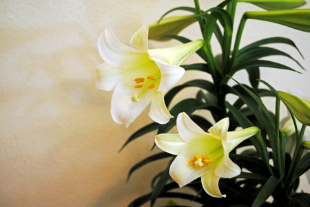 easter lily: Easter lily plant; space for copy