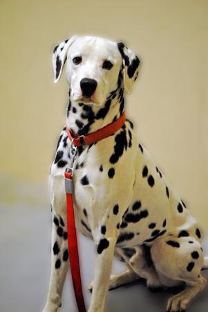dalmatian: Purebred Dalmatian dog. Stock Photo
