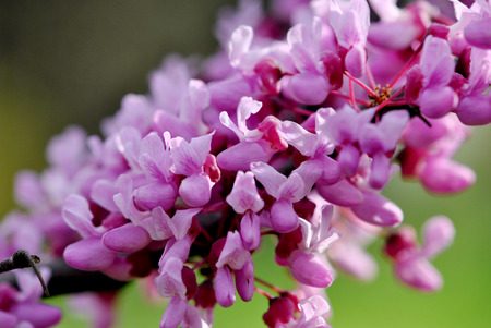 redbud: Redbud branches Cercis canadensis Stock Photo