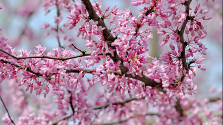 canadensis: Redbud branches Cercis canadensis Stock Photo