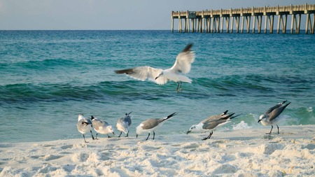 scavenging: Seagulls foraging on the beach Stock Photo
