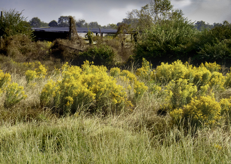 farm building: Goldenrod in a field beside an abandoned farm building.