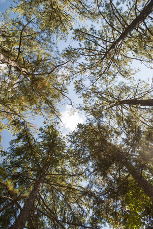 straight up: Looking straight up through tall trees to the sky. Stock Photo