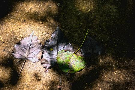 まだらにされた日光の落ちた紅葉します。 写真素材