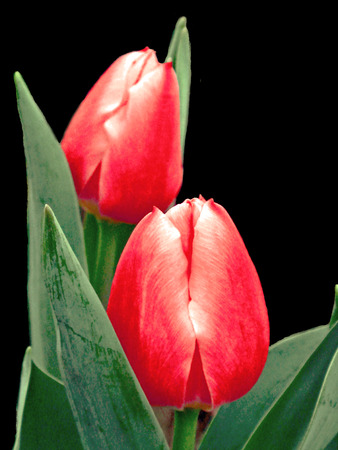 Two red tulips isolated on black Stock Photo