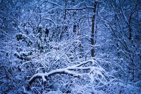 underbrush: Tangled undergrowth in the snowy forest