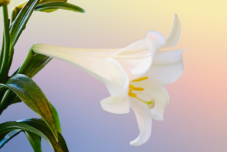 easter lily: Easter lily on pastel background