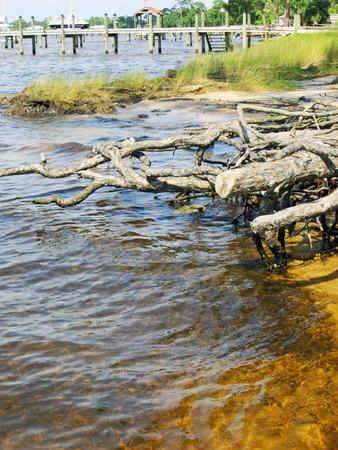 bayou: Old tree roots reach toward the bayou waters Stock Photo