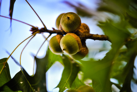 twig: Acorns ripening on an oak twig Stock Photo