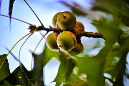 Acorns ripening on an oak twig Zdjęcie Seryjne