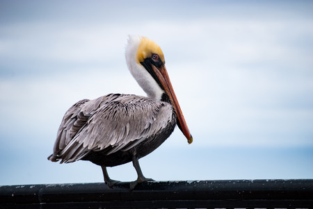 rail: Pelican standing on rail Stock Photo