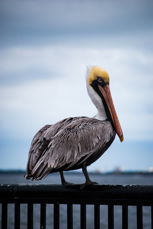 pelican: Pelican standing on rail Stock Photo