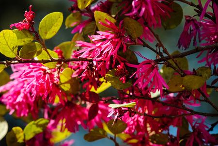 fringe: Loropetalum; Chinese fringe flower Stock Photo
