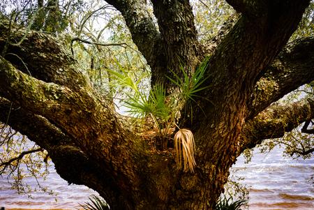 Moss, fungi, and a small palmetto bush nestle in branches of a live oak. Imagens