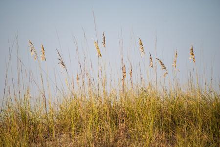 sea oats: Sea oats, a native grass of the sand dunes Stock Photo