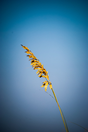 Single stem of sea oats