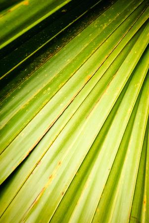 palmate: Palm frond