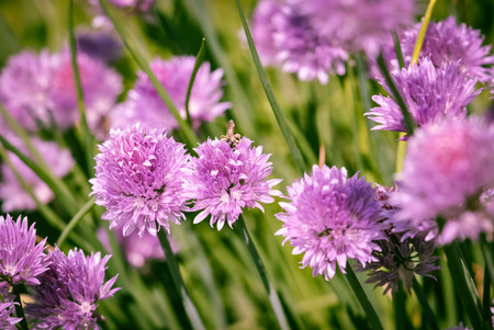 chive: Chive blossoms