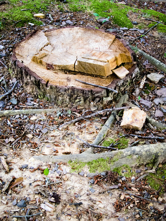 felled: Stump of a tree felled with an axe.