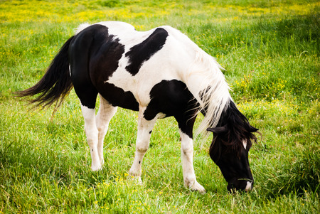 piebald: Piebald horse grazing Stock Photo