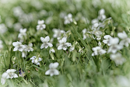 White violets scattered through the grass. Stock Photo