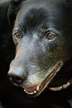Older dog going grey around the muzzle but still happy. Stock Photo