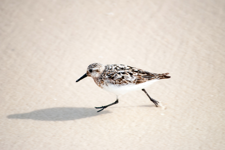 Sandpiper running through the wave Stock Photo